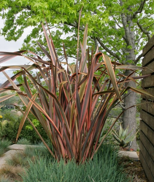 2392 543 New Zealand Flax