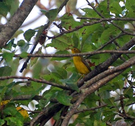 3. warbler-kab