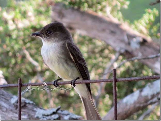 Eastern_Phoebe_Insect