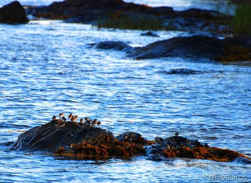 3. shorebirds-kab