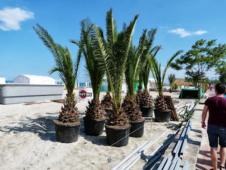 Plaja Mamaia: se pregatesc palmierii
