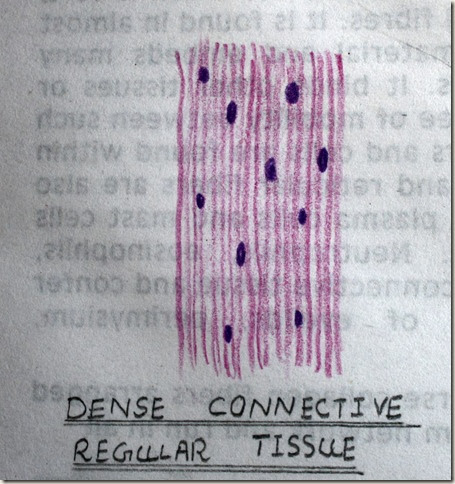 dense regular connective tissue high resolution histology diagram