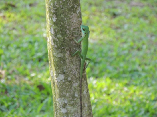 Green Crested Lizard (Bronchocela cristatella)