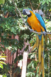 Blue and Yellow Macaw by Hanna Jones