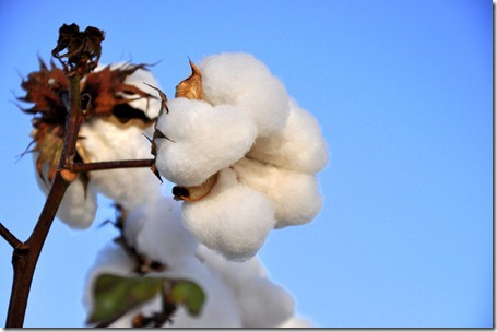 new farm cotton 2012 (57)