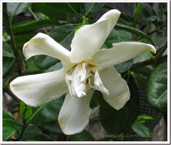 07-04-tahitian-gardenia