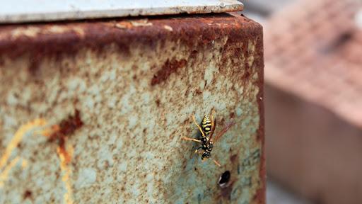 vespa calabrone