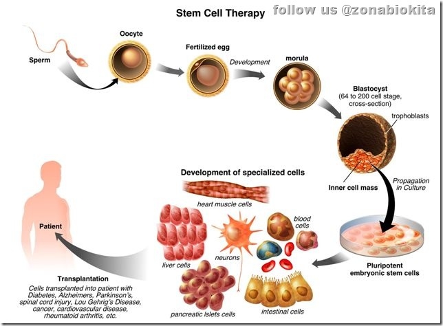 Harvest stem cells from adults