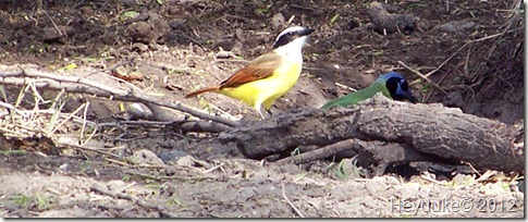 Great Kiskadee and a Green Jay