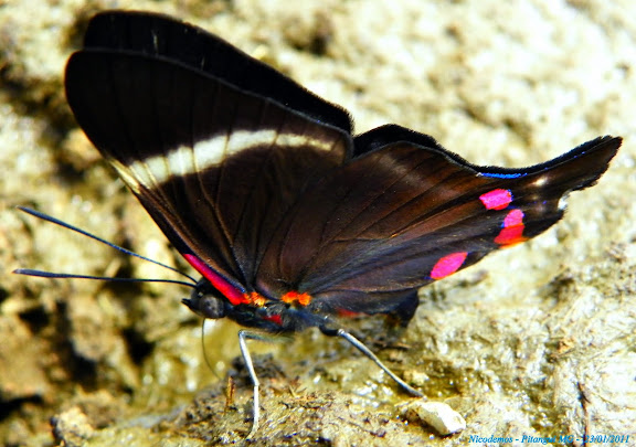 Riodinidae : Riodinini : Rhetus periander arthuriana (SHARPE, 1890). Pitangui (MG, Brésil), 23 janvier 2011. Photo : Nicodemos Rosa