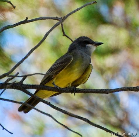 16. Cassin's kingbird-kab