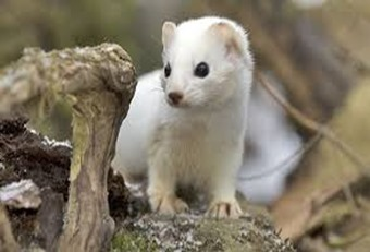 Amazing Pictures of Animals, photo, Nature, exotic, funny, incredibel, Zoo, Stoat, Mustela erminea, Alex (1)