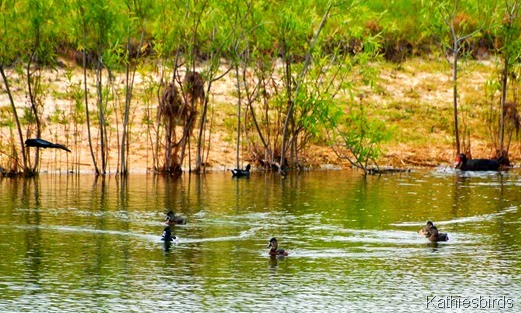 2. ducks in the pond-kab