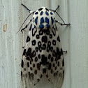 Giant Leopard Spotted Moth