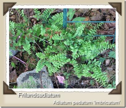 Frilandsadiantum_1