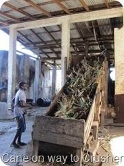 152 Cut Cane taken to crushing machine