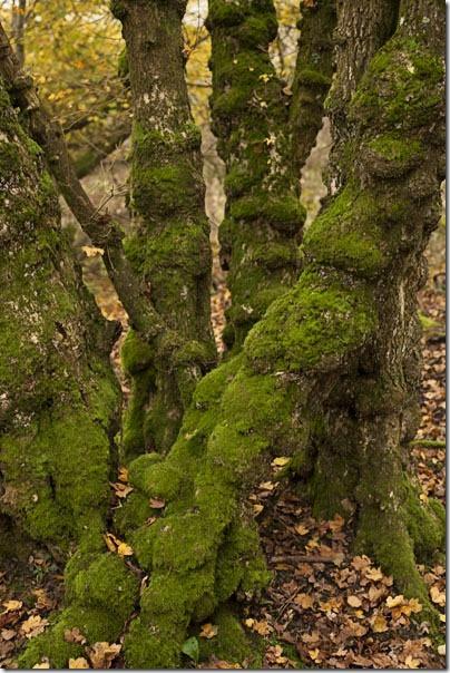 Nobbly Lichen