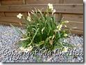 Påskeliljer - narcisser 12.04.2012