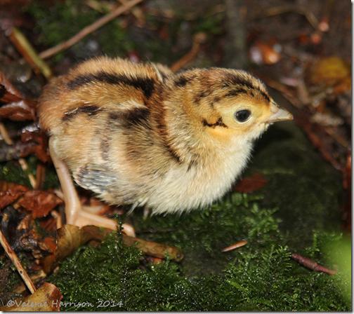 pheasant-chick-7