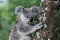 Cute koala