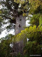 2000 Jahre alter riesiger Kauri Baum