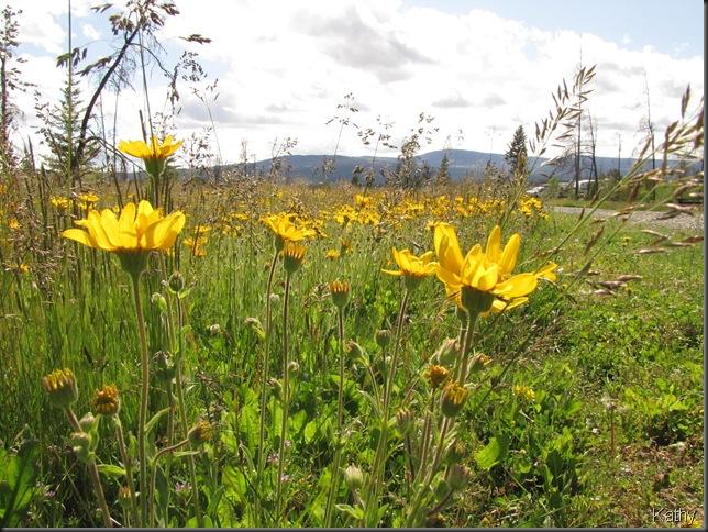 Field Arnica