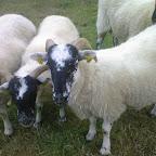 Schafe - Juli 2008