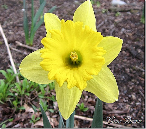 Daffodil3_March13
