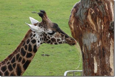 marwell zoo 015