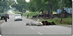 orchha khajuraho 004 vaches endormies sur la route