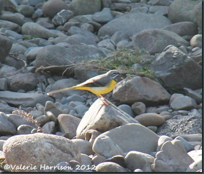 35-grey-wagtail