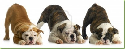 bulldog puppies bowing