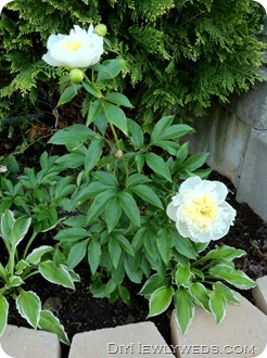 peony-plant