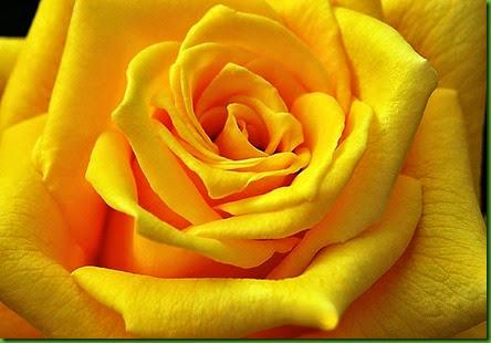 Rosa GOLDEN EMBLEM