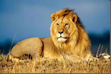Amazing Animals Pictures Lion  (1)