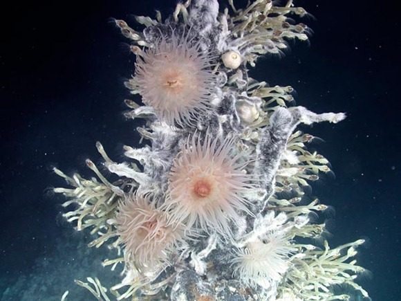 Antarctic Anemones in the Pink