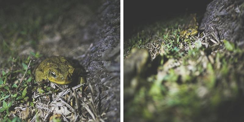 bullfrogs galore