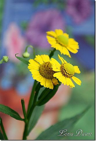 Helenium2_Yellow