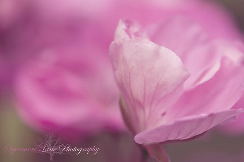 Geranium-1-SycamoreLane Photography-w