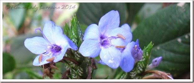 02-25-blue-sage