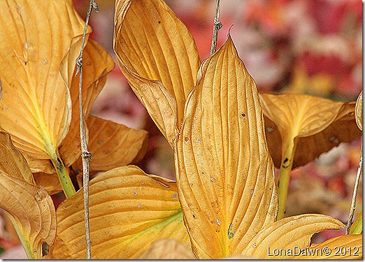 Autumn_Hosta_2012