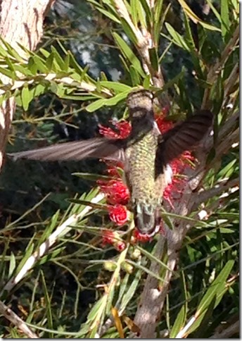 Hummer on bottlebrush 4-6-2013 8-49-59 AM 1569x2212