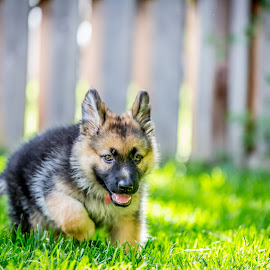 Dakota by Leon Herbert - Animals - Dogs Puppies ( breed, dog name, dakota, cincinnati, places, leon herbert photography, date, gsd, fence, ohio, g+, pets, 20130728, puppy, german shepherds, dog, green grass, animal,  )