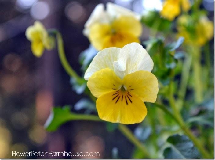 yellow viola700
