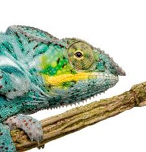 Amazing Pictures of Animals, photo, Nature, Exotic, Funny, Incredibel, Zoo, Panther chameleon, Furcifer pardalis, Reptilia, Alex (13)