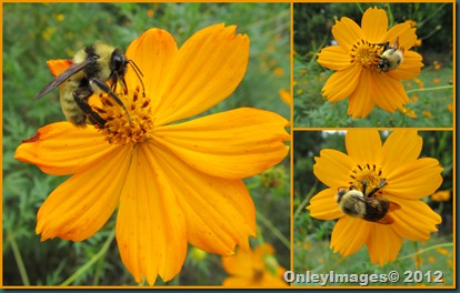 0924 bees on coreopsis