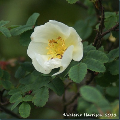 52-burnet-rose