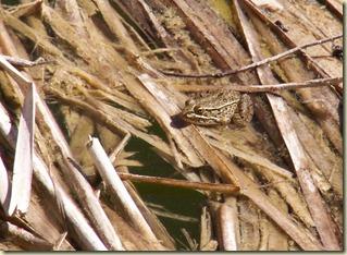 Boyce Thompson Lowland Leopard Frog