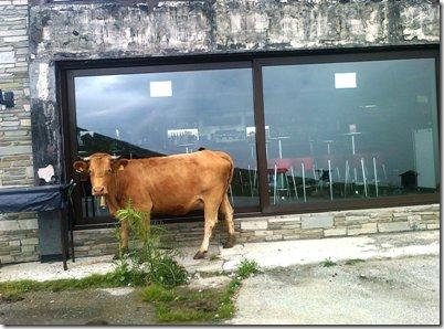 Αγελάδα μπροστά από το σαλέ του χιονοδρομικου κέντρου στο Καϊμακτσαλάν προσπαθεί να κρυφτεί πίσω από τη φτέρη, εικόνα οικεία, είναι αλήθεια, της μακεδονικής υπαίθρου.
