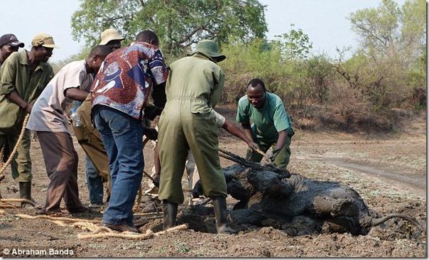 Resgate dramático de um elefante bebê e sua mãe (10)